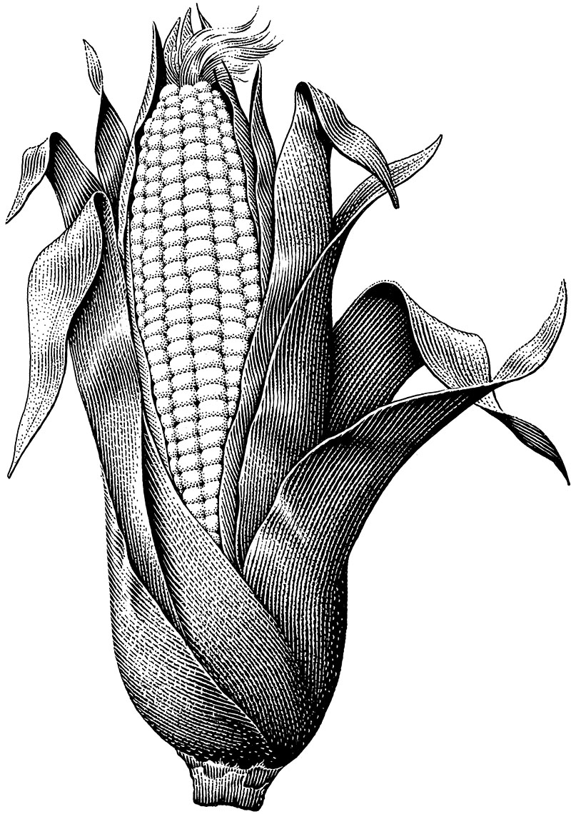 Fresh Ear Of Corn In Husk