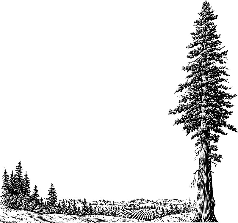 Giant Redwood, Sequoia