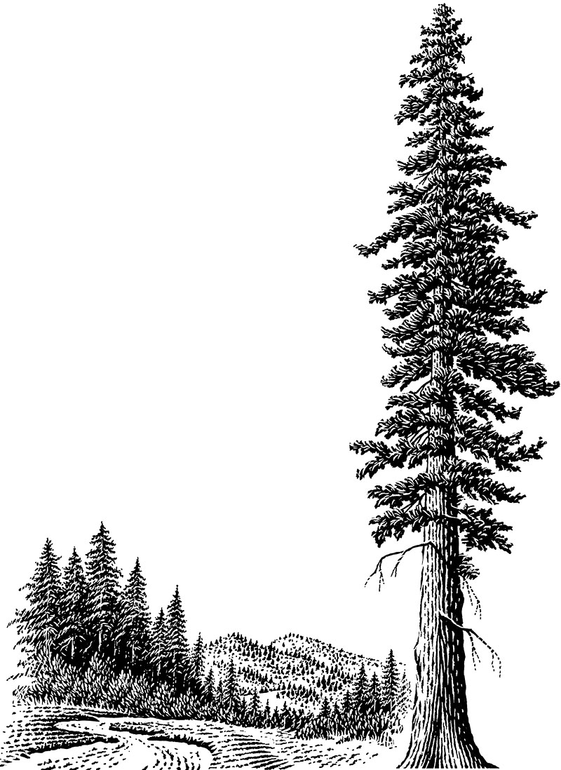 Giant Redwood Tree–Sequoias