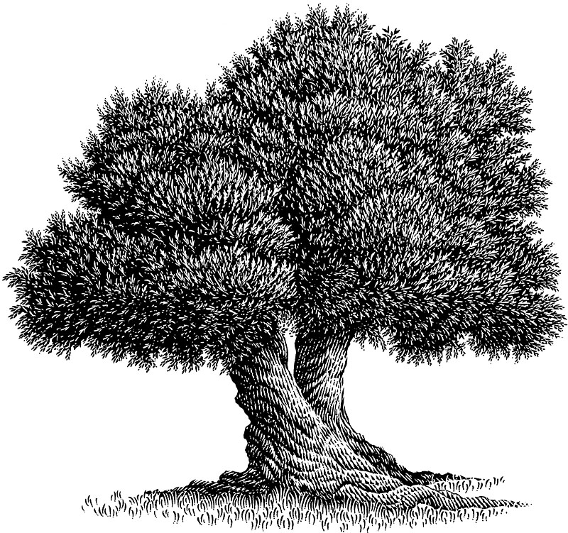 Old-Growth Olive Tree