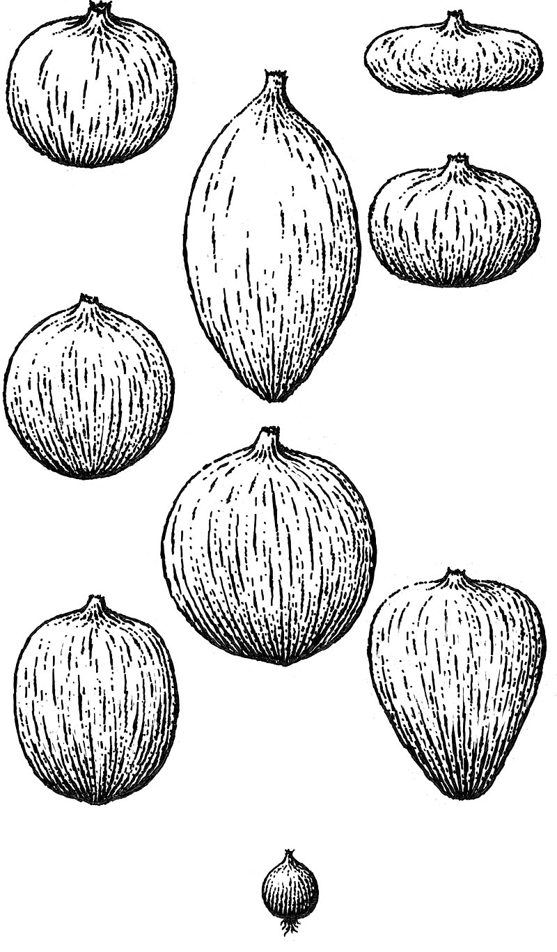 Onion Icons