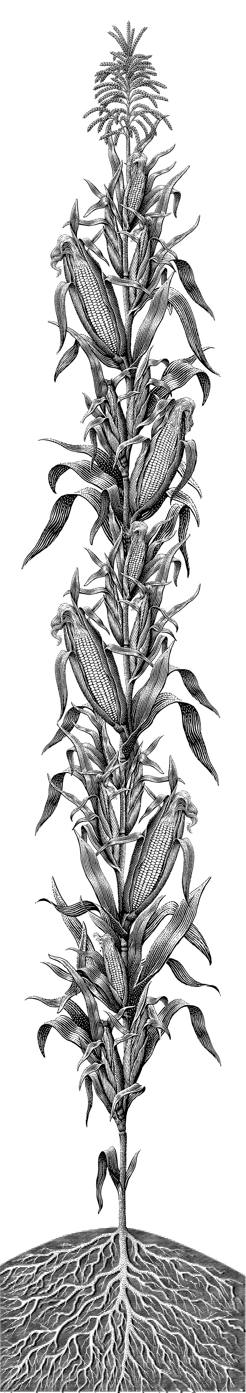 Tall Corn Stalk