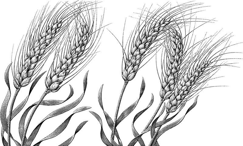 Wheat Plants (Triticum aestivum)