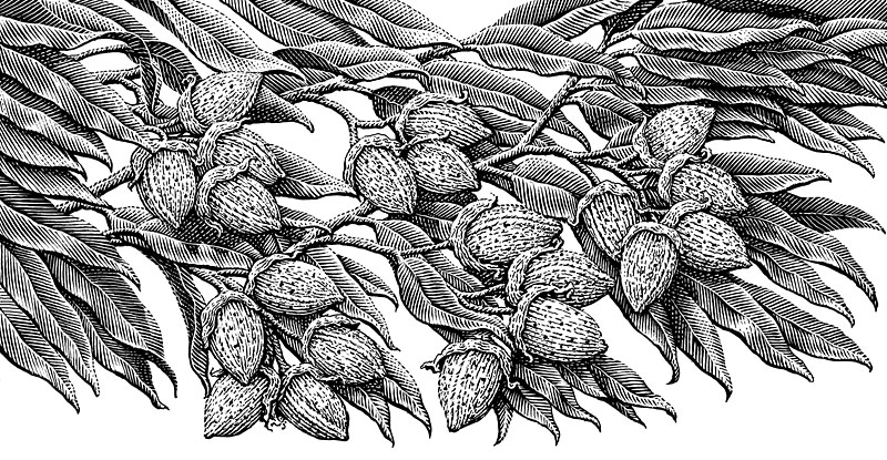 Almonds on Almond Tree
