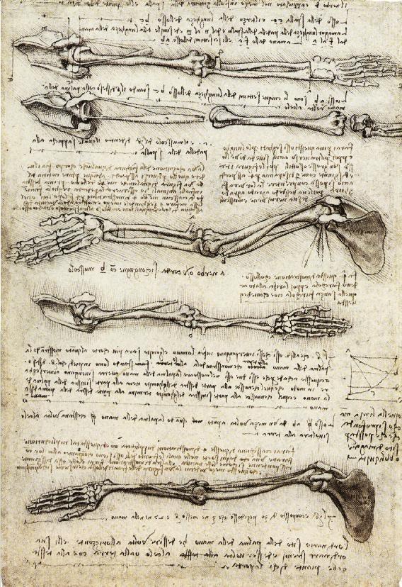 Anatomical study of the arm, circa 1510, leonardo da vinci
