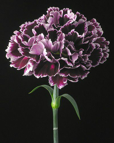carnation birth flower for january.jpg