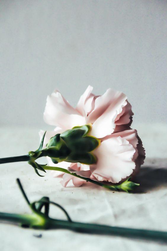 dainthus flower