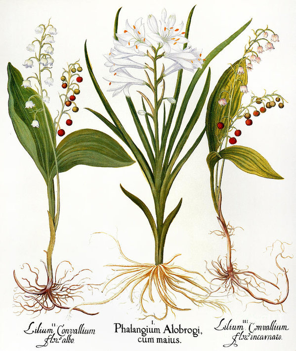 5: BOTANICAL ILLUSTRATIONOF THE LILY OF THE VALLEY PLANT - Or perhaps a beautifully framed print of the recipient'sbirthflower could be the perfect gift for a person born in May.This one is printed to order, or you could search for an antique printas a thoughtful gift for a botanical-lover.