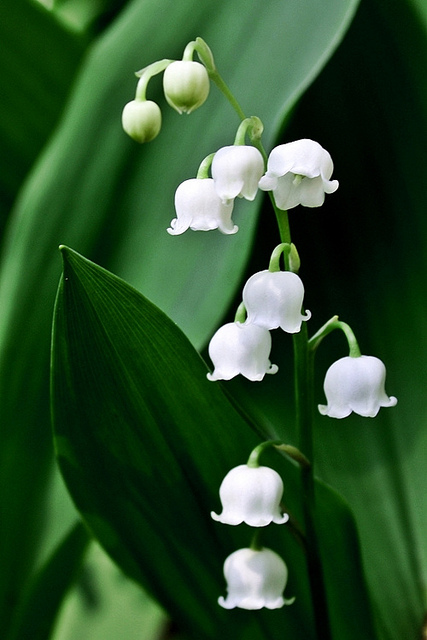 lily of the valley in may  birth flower of the month  future, Beautiful flower