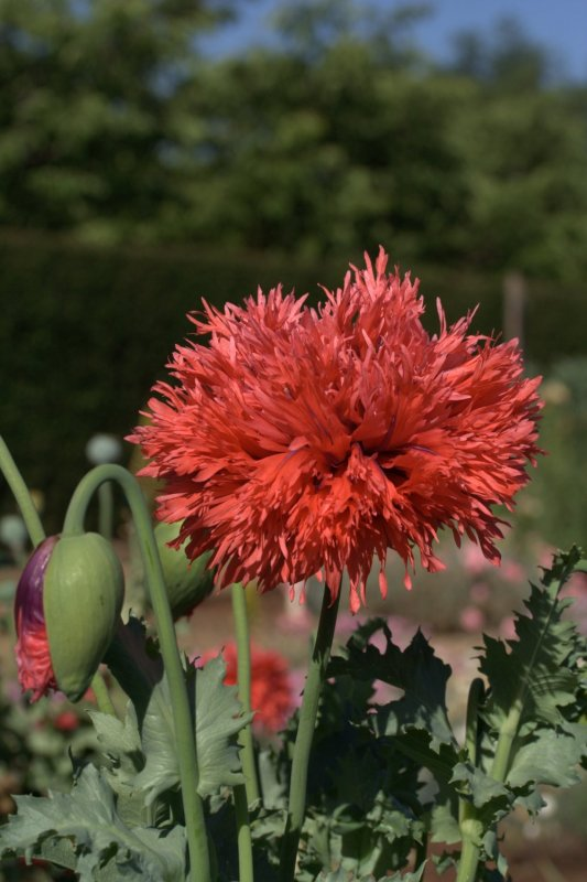The peony poppy double red from lambley nurseries has the look of a peony, but the easy care growing appeal of a poppy.