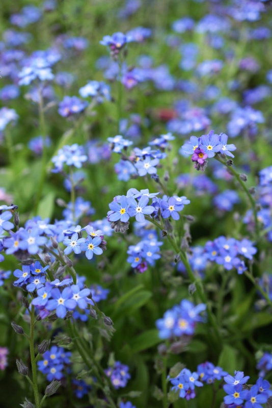 Forget me not - birth-flower for september