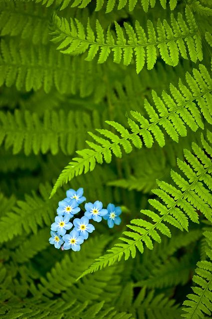 forget me not with fern.jpg