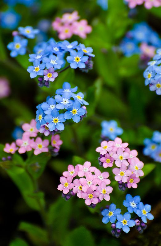 Forget me not in september birth flower of the month future pink and blue forget me notg mightylinksfo