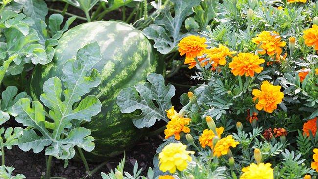 marigold companion planting.jpg