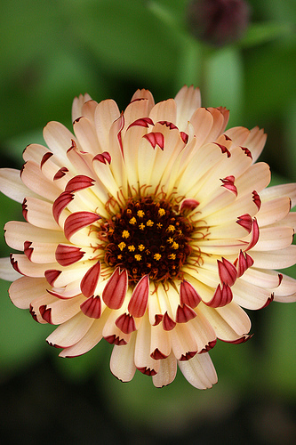 bi coloured marigold.jpg