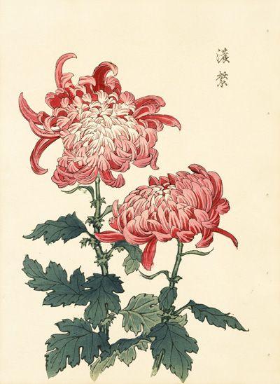 chrysanthemum botanical print.jpg