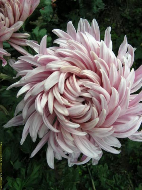 Chrysanthemum In November Birth Flower Of The Month Future King