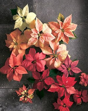 Poinsettia in december birth flower of the month future king poinsettia christmasg mightylinksfo