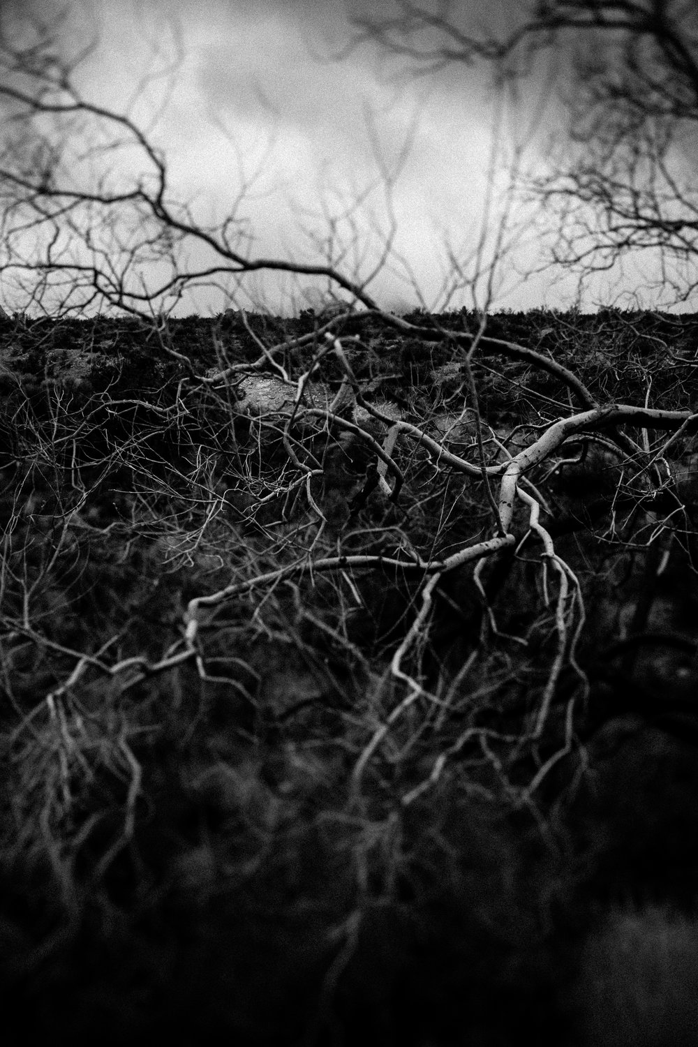 black and white photo Red Rock Canyon branches