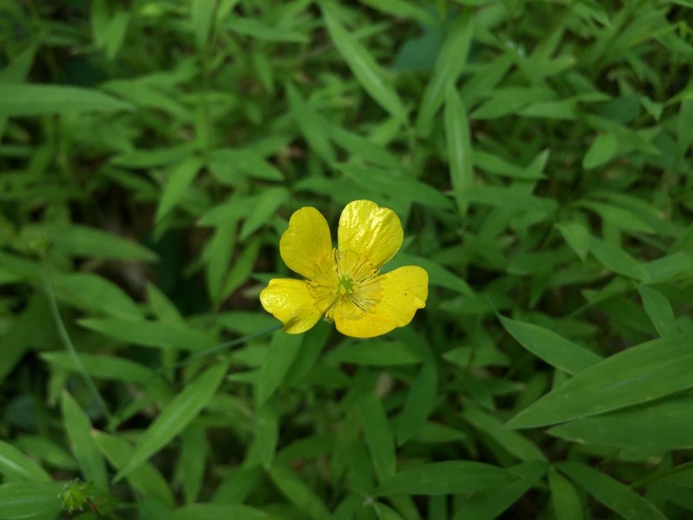 "Ranunculus (""Buttercup"")"