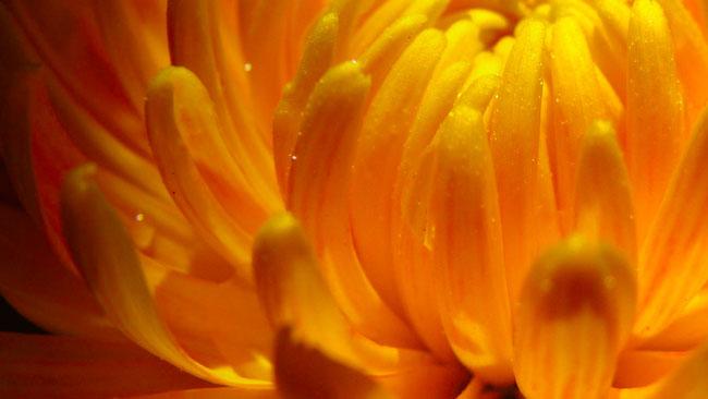 crysanthemum_2015_jcd.jpg