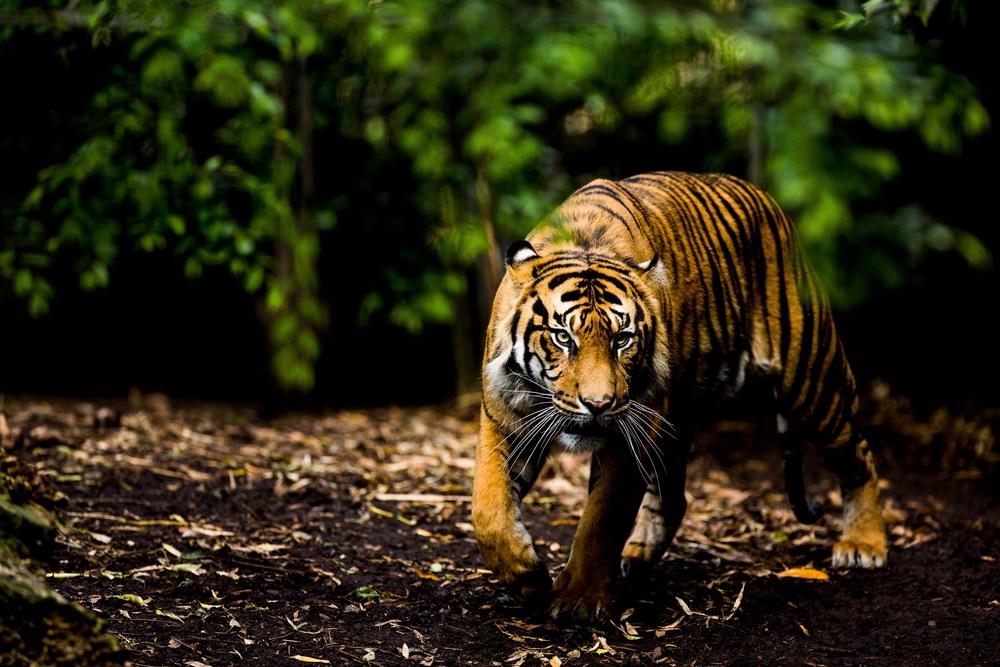 tiger_.jpg