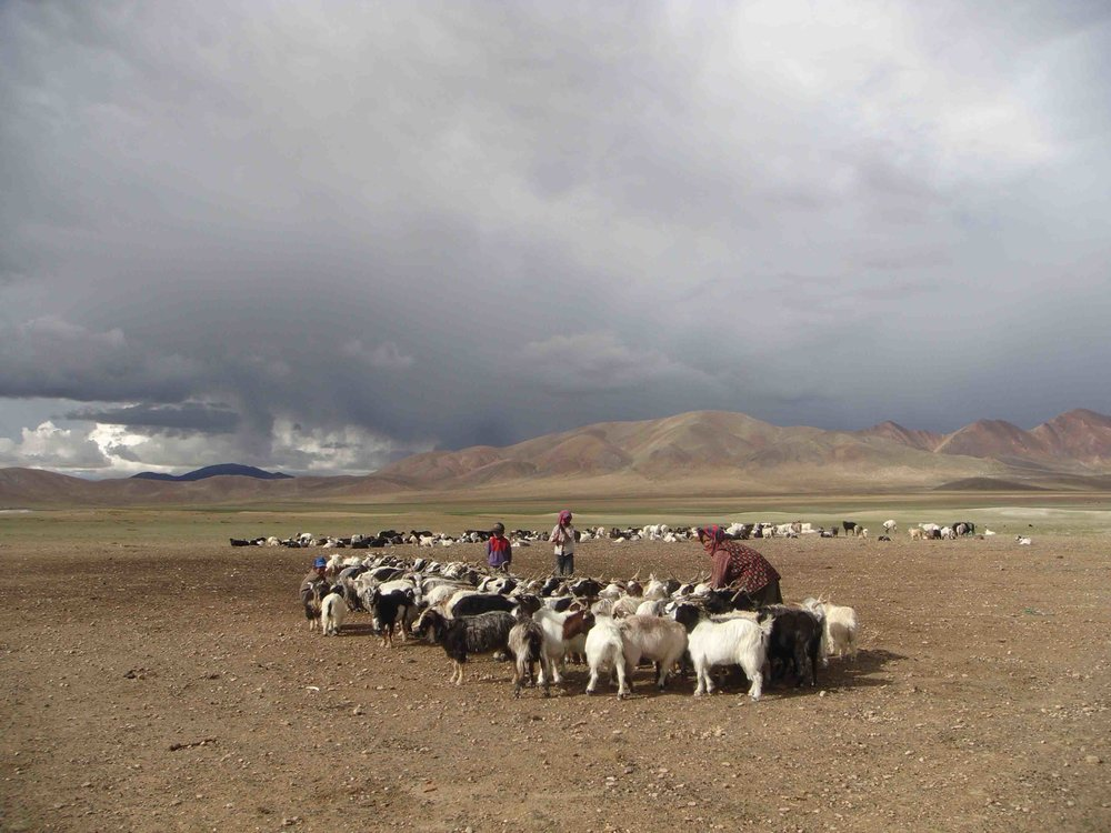 Goats (unharmed) Ngari Tibet copy.jpg