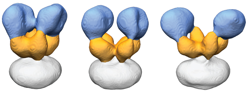 Conformations of the desensitized AMPA receptor Upon desensitization, the AMPA receptor ligand binding domain layer (orange) rearranges to have approximately four-fold in-plane symmetry. Also, the amino terminal domain layer (blue) is destabilized and becomes mobile. This mobility is captured in the three structures shown here. Adapted from Meyerson et. al. 2014 Nature.