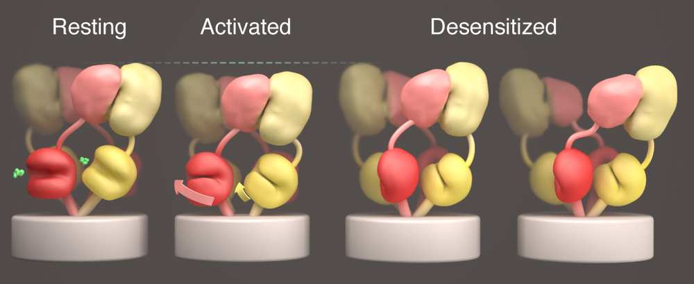 The AMPA and kainate receptor gating cycles Models derived from structures of the three canonical functional states of AMPA and kainate glutamate receptors. The panel illustrates actions involved in transitioning between the different states. Illustration created by Donald Bliss of the National Library of Medicine. Adapted from Meyerson et. al. 2014 Nature.