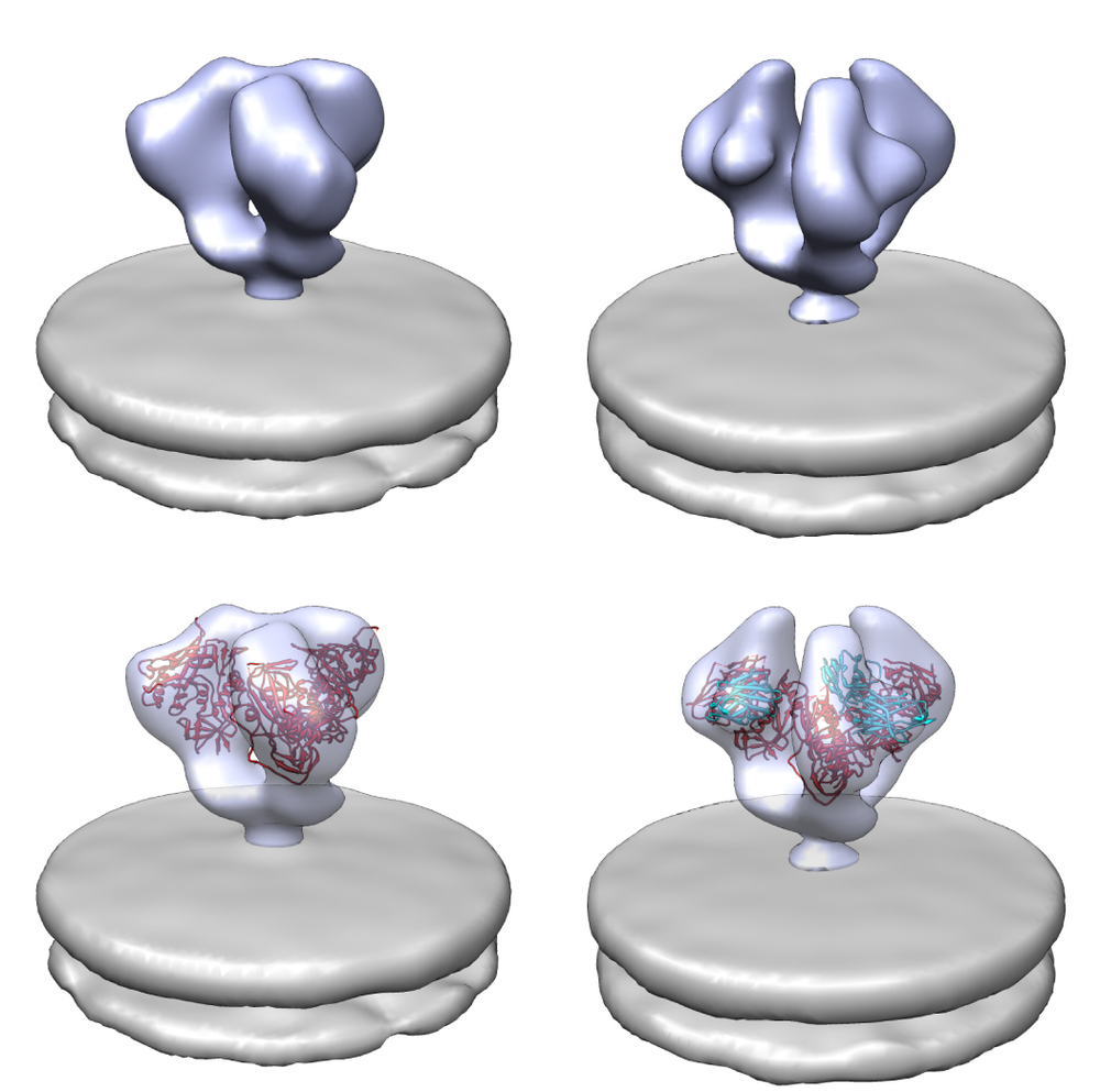 HIV-1 Envelope glycoprotein structures Shown on the left is the structure of the HIV-1 Envelope membrane glycoprotein without a binding partner. On the right, the Envelope protein is shown interacting with three copies of the A12 protein, a small domain antibody. The top row shows the structures derived by cryo-EM, and on the bottom these same structures are fitted with subunit structures from X-ray crystallography. Adapted from Meyerson et. al. 2013 Proc Natl Acad Sci USA.