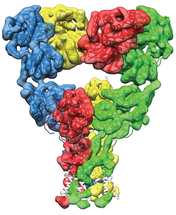 Kainate receptor in a desensitized state The kainate type glutamate receptor in its desensitized state at a resolution of 7.6 Å. Adapted from Meyerson et. al. 2014 Nature.
