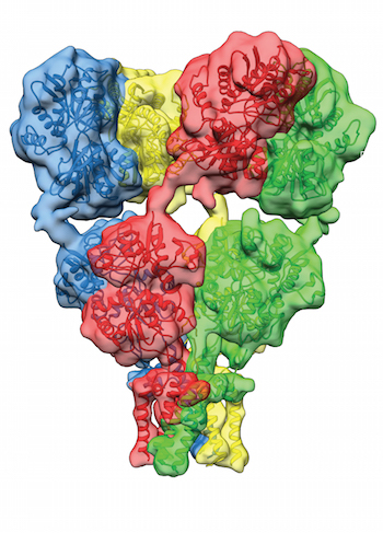 AMPA receptor in an antagonist-bound state The AMPA receptor in an antagonist-bound closed state. The four colors delineate the four subunit chains in the receptor. Adapted from Meyerson et. al. 2014 Nature.
