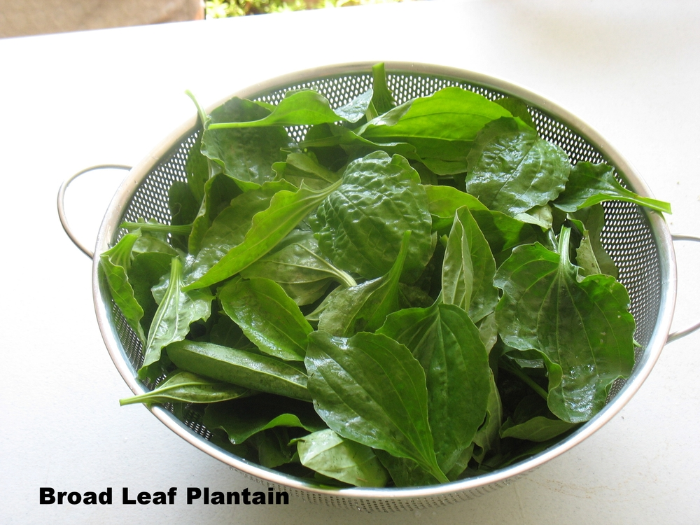 Broad Leaf Plantain