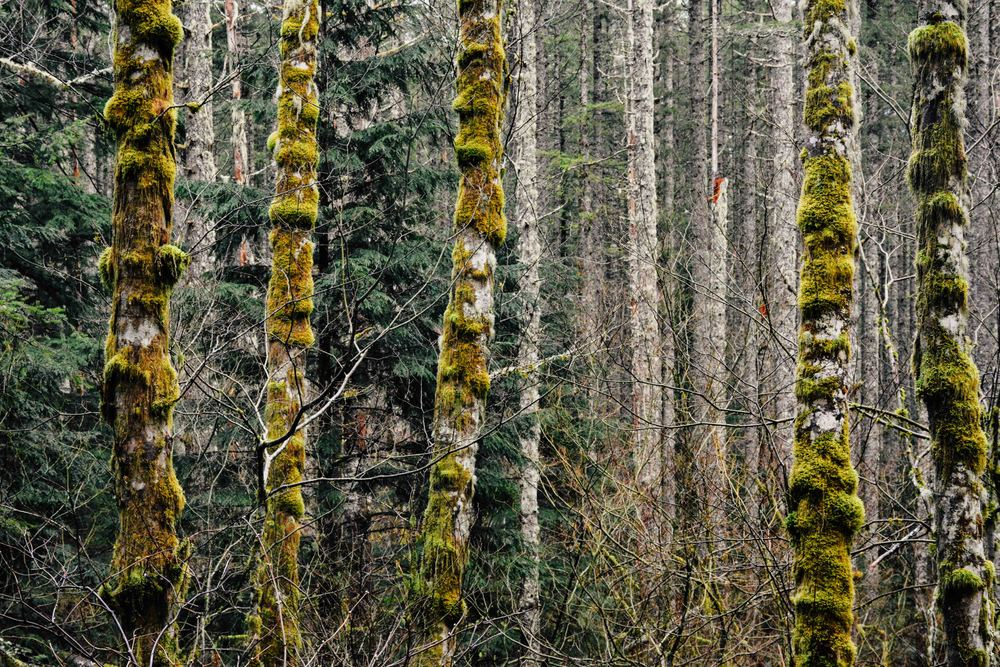 Mossy Trees 2