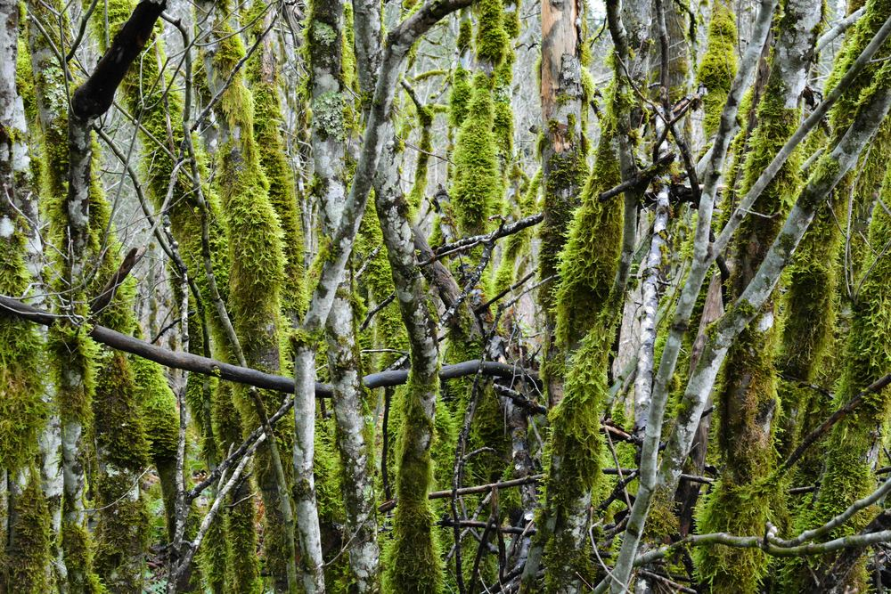 Mossy Trees 1