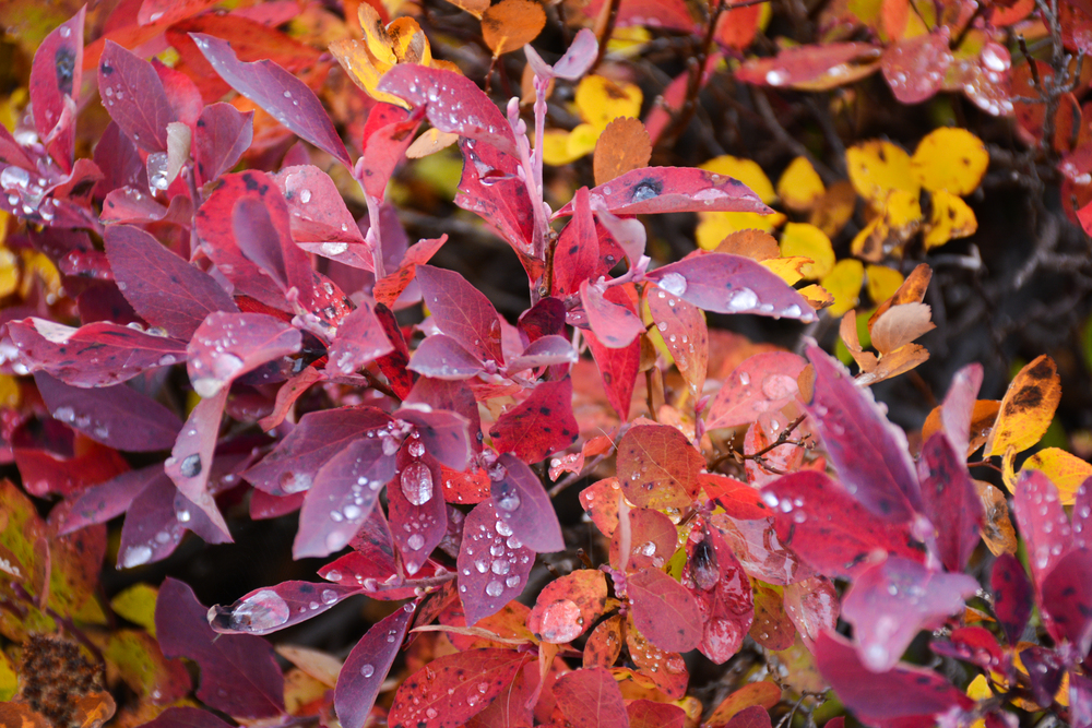 Rain drops on fall foliage at Paradise, Mount Rainier National Park