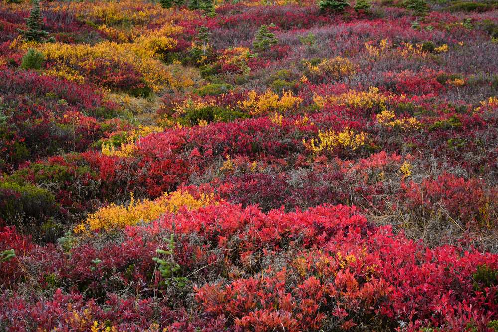 Various autumn colors on the alpine tundra - Mount Rainier National Park