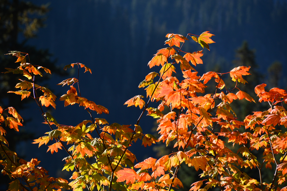 Colorful foliage Mount Rainier