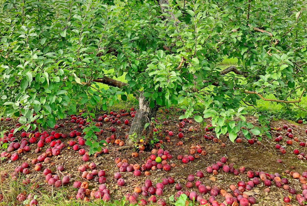Apples In New Hampshire