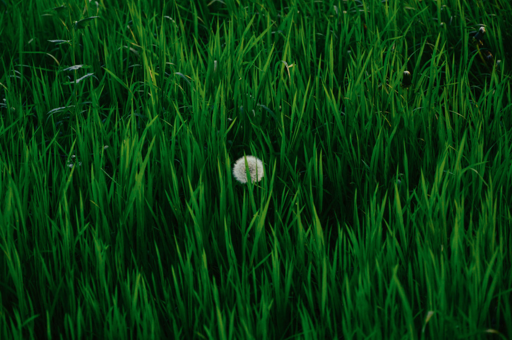 Single dandelion in grass