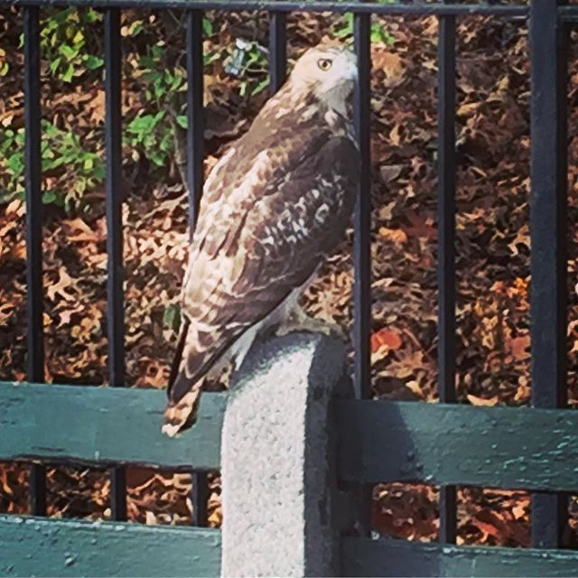 Looking for the same kind of chill as this bird on a Prospect Park bench. Love seeing nature in this city! #nagfans #putabirdonit #prospectpark #brooklyn #nyc #nature