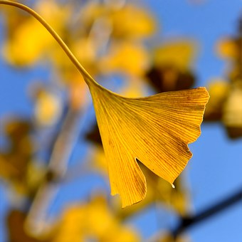 ginkgo-in-the-autumn-1032489__340.jpg