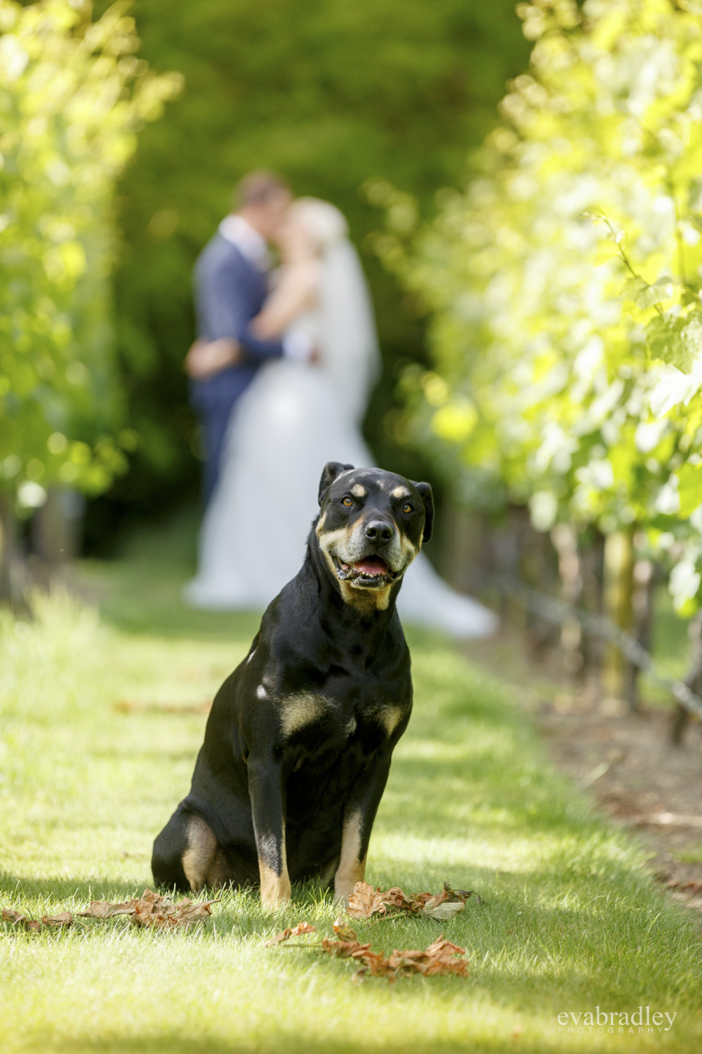 dog at craggy range wedding