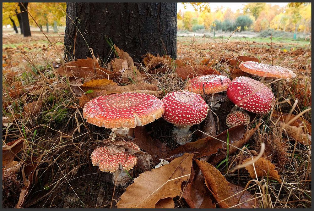 Como numa reunião de gnomos... cogumelos  Amanita muscaria  num souto bem perto de casa (a chuva emprestou o brilho).