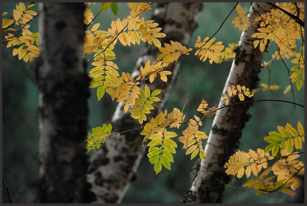 As folhas não são de bétulas, mas os troncos sim. Uma bela combinação durante um Bétula Tour, a pedido de amigos de longa data.
