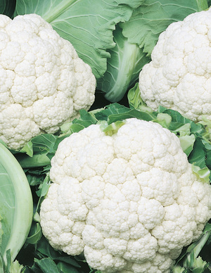 Vegetables herbs plants plus cumberland forest flavoursome vegetable producing crisp edible white flower heads ideal for home vegetable gardens or large containers mightylinksfo