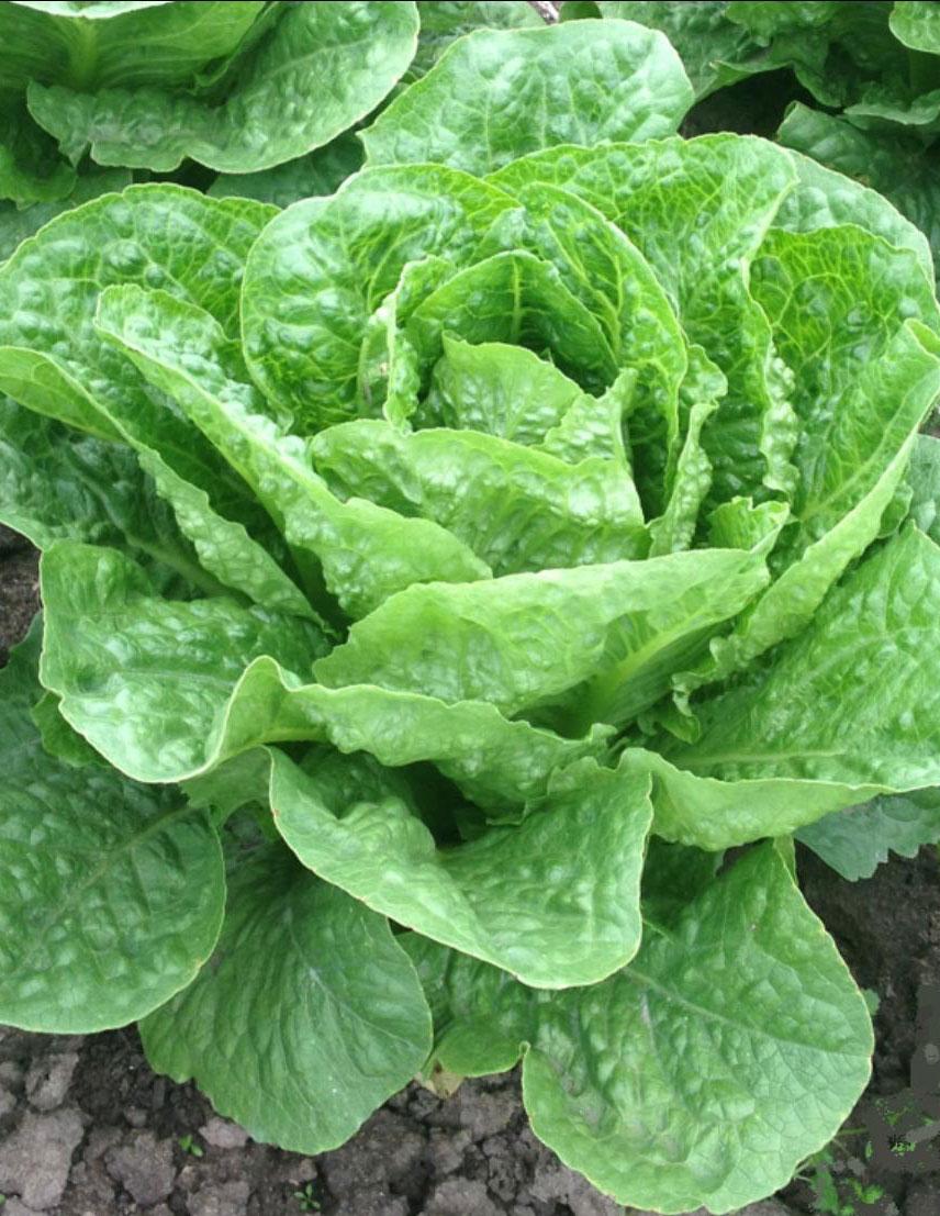 Lettuce-Cos.jpg