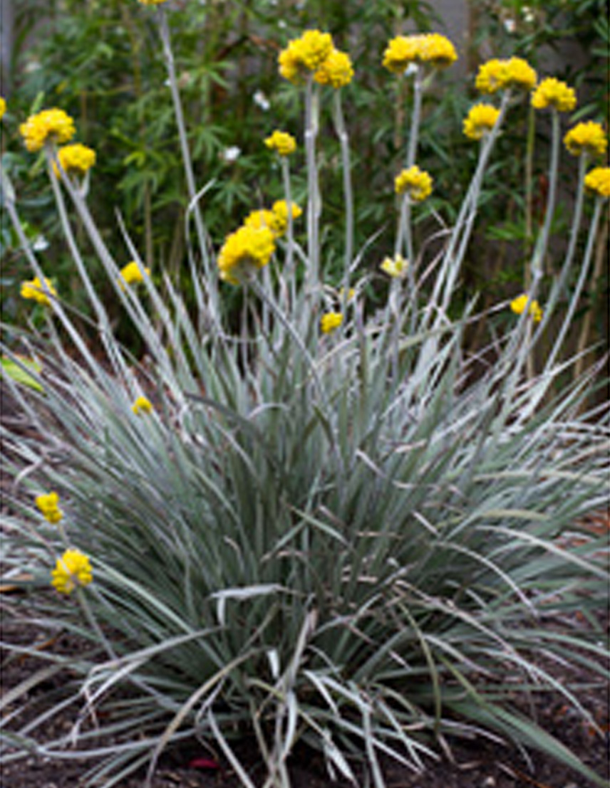 Native grasses plants plus cumberland forest conostylis silversunrise is a fantastic low growing australian native famed for a spectacular display of yellow flowers held above the foliage on mightylinksfo