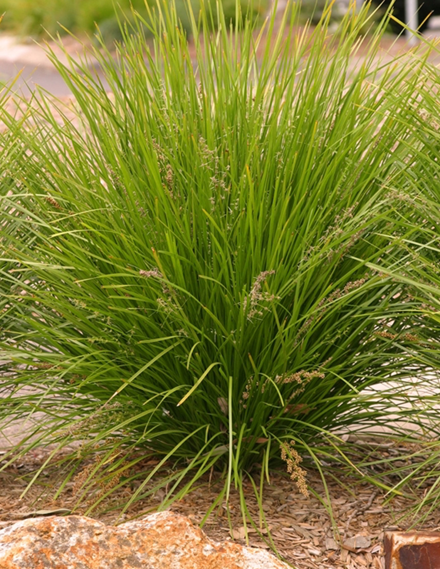 Native grasses plants plus cumberland forest for Plants and grass