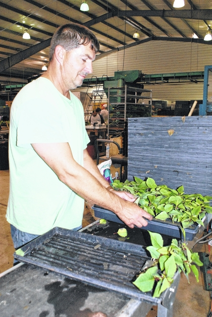 James Pauley is pictured as he sorts through poinsettia cuttings to transplant into pots at Bob's Market and Greenhouses in Mason. Over 50,000 pots of the Christmas flower were planted this week and last. The poinsettia cuttings come from as far away as Kenya, Africa.